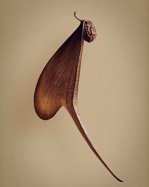 Melembu (Pterocymbium tinctorium)