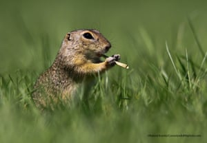 A European ground squirrel in Hungary