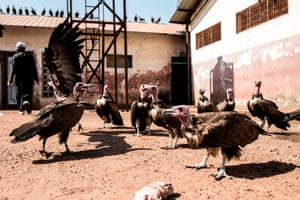 Hooded vultures wait for scraps of meat at Bissau's main slaughterhouse. Tens of thousands of hooded vultures flock to the city of Bissau to in search of food left behind in rubbish heaps or around markets.