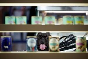 A bulldog looks at quality dog food