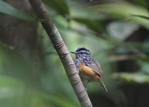A small bird with well-defined colours, the name manicoré warbling-antbird, Hypocnemis rondoni, was given as a tribute to the Brazilian anthropologist Marechal Cândido Mariano da Silva Rondon. The orange-tinted hue of its belly contrasts with its black-and-white chest and head. Small white spots give a lovely and striking tone to its plumage. It inhabits forest borders, clearings, roadsides, and locations where sunlight gets through.