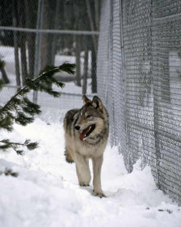 Sawtooth wolf pup walking along the fence in Nez Perce pen, February 1996.