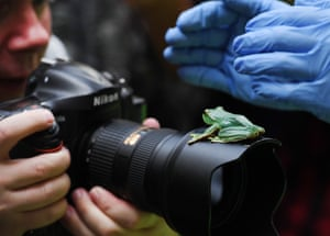 A Fea's Flying Tree frog leaps onto a photographer's camera lens