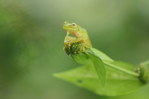 A glass frog perched on a branch in Costa Rica