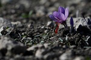 A saffron flower in Krokos, Greece