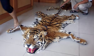 A picture made available by the wildlife trade monitoring network Traffic shows a tiger skin openly on sale at a retail outlet in Mong La, Myanmar.