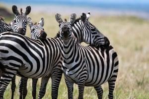 Zebras at the Maasai Mara national reserve in Kenya