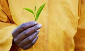 A farmer holding a tea leaf.
