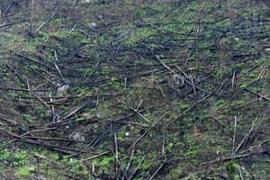 A pine forest affected by a weevil plague on the outskirts of Tegucigalpa in Honduras