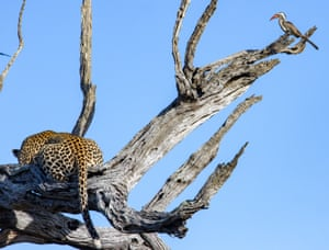 A leopard feed on a carcass in Kruger national park, South Africa.