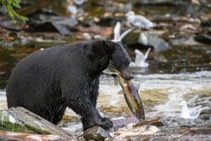 American black bear catching at Neets Bay fish hatchery, Behm Canal in Southeast Alaska near Ketchikan, USA.