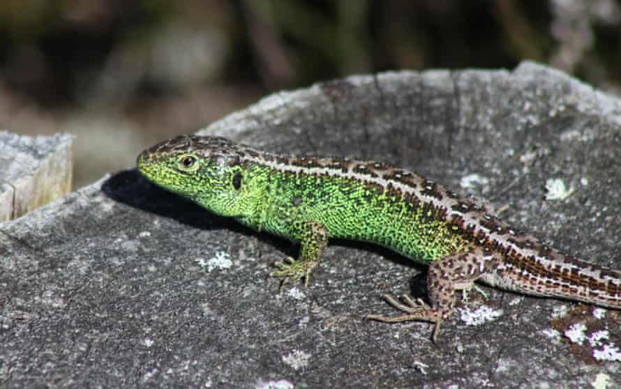 A Sand Lizard one of six native reptiles to be encountered on the heath.