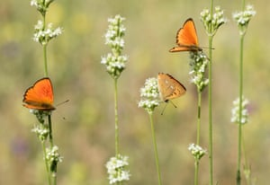 Scarce copper butterflies.