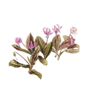 The Transylvania Florilegium Erythronium dens-canis by Laura Silburn