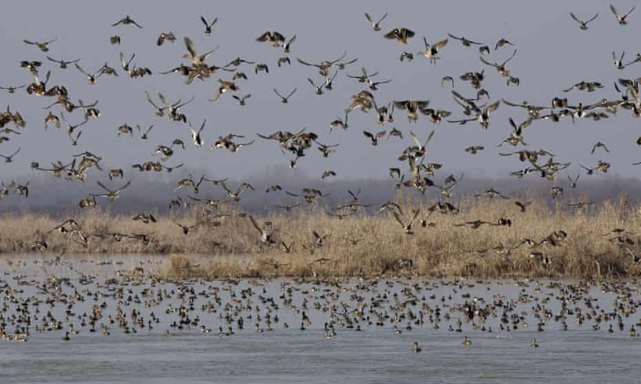 Migratory birds fly above wetlands in Hokersar, India.