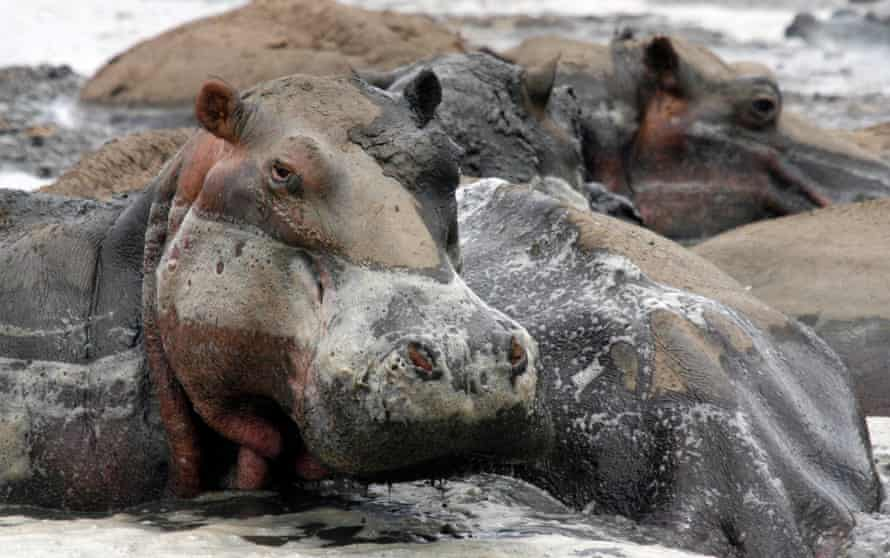 The common hippopotamus is one of 347 species affected by drought as a result of man-made climate change.