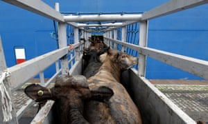 Cattle are loaded onto a ship transporting cattle from Brazil to the Middle East.