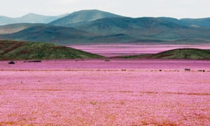 Flowers Bloom In The Atacama Desert In Pictures Environment