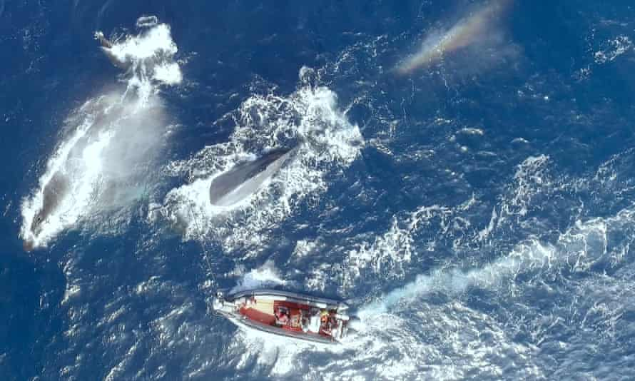Researchers attempt to tag a whale as part of their efforts to identify the 52Hz whale.