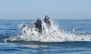 Two humpback whales engaging in what is known as lunge-feeding, a feeding strategy in which these baleen whales speed to the surface and engulf schooling fish such as menhaden).