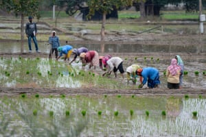 Labourers plant paddy saplings in a field in Medak district, some 60 km from Hyderabad on 7 January, 2021.