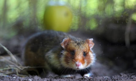 The monotonous diet is leaving hamsters starving and deranged.
