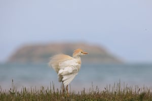 A cattle egret, known as Bubulcus ibis, is seen at Lake Van basin, Turkey