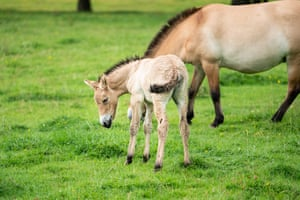 """A rare and endangered Przewalski foal, born at ZSL Whipsnade Zoo. Przewalski's horse, also known as the Mongolian wild horse, it is the world's last """"truly wild"""" species of horse, say zookeepers."""