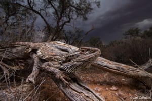 The winner of the animal habitat category, Storm Dragon by Jari Cornelis. Cornelis says: 'We were rushing to get to camp before the storm hit when we encountered this central bearded dragon, an iconic representative of the reptiles of central Australia. I could not forego the opportunity to capture this impressive animal with the ominous scene unfolding in the distance'
