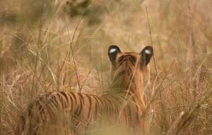 A tigress stalks a deer in Tadoba Andhari tiger reserve in Maharashtra, India