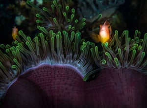Anemonefish, also known as clownfish, among the protective tentacles of their home