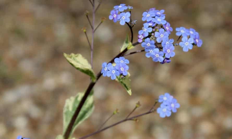 Brunnera macrophylla 'Hadspen Cream'.