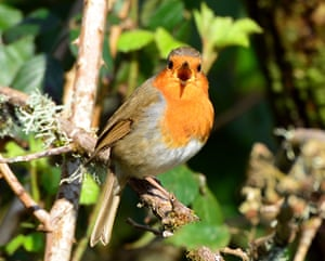 A robin sings in woodland