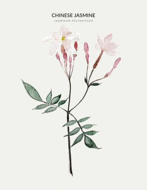 CHINESE JASMINE  from the book Urban Botanics by Emma Sibley and illustrated by Maaike Koster.