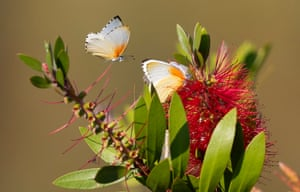 Common dotted border butterflies drinking nectar from flowers of an alien Australian weeping bottlebrush bush in Cape Town, South Africa