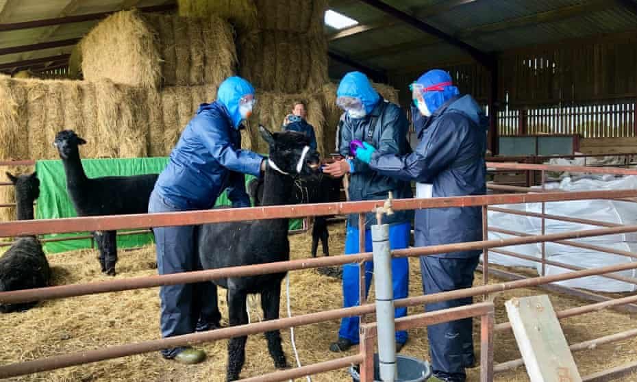 Three people, who arrived with a police escort, prepare to remove Geronimo the alpaca from a farm in Gloucestershire.