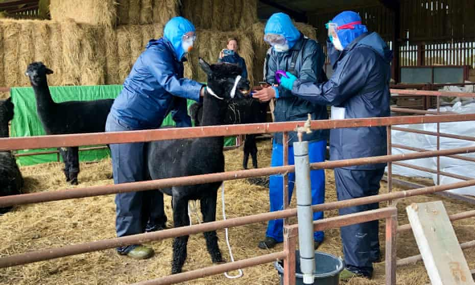 Workers, who arrived with a police escort, surround Geronimo the alpaca at Shepherds Close Farm