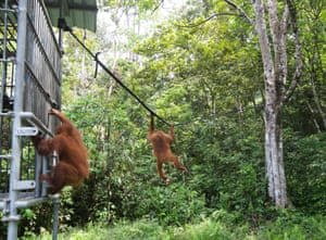 Once the cage is opened Chocolate quickly moves out with his companion, along a rubber zip line towards the jungle