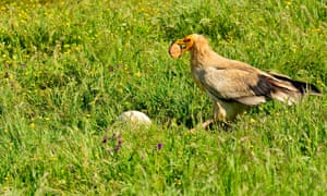 An Egyptian vulture holds a stone in its beak to break an egg