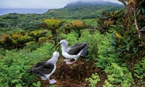 Bad luck to kill them? Yellow-nosed albatrosses on Gough Island.