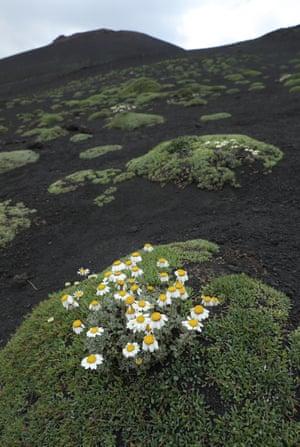 Flowers bloom in gravel-like ash about 1,000 meters below the peak of Mount Etna, Sicily