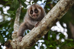 Slow loris in tree