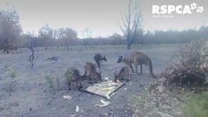 arious animals visiting feeding spots captured on surveillance cameras on Kangaroo Island in Australia
