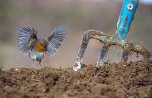 European robin by Nikos Bukas, Greece – Bird Photographer of the Year, garden and urban birds category winner
