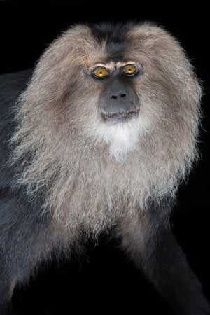 Lion-tailed macaque – endangeredMacaques have large cheek pouches which they can stuff with food. Dominant animals may take advantage by stealing food from the cheeks of those lower in the ranks.