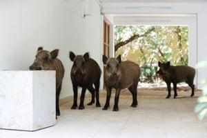 Haifa, Israel Wild boars roam inside a residential building under lockdown