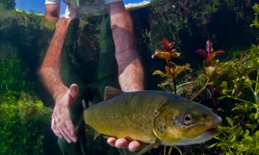 Softmouth trout (Salmo obtusirostris): Dam projects on the Neretva threaten 50% or more of this population, and would most likely eliminate the species in the Morača river system.