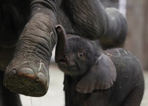 Modern elephants are heavily dependent on humans for their survival. Here a baby elephant stands close to his mother in the elephant enclosure at Wuppertal Zoo, Germany.