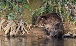 A beaver grooming itself on the bank of the river Otter after being checked for diseases and re-released.