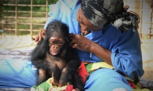 Surrogate mothers help feed orphaned primates and take them out for forest explorations